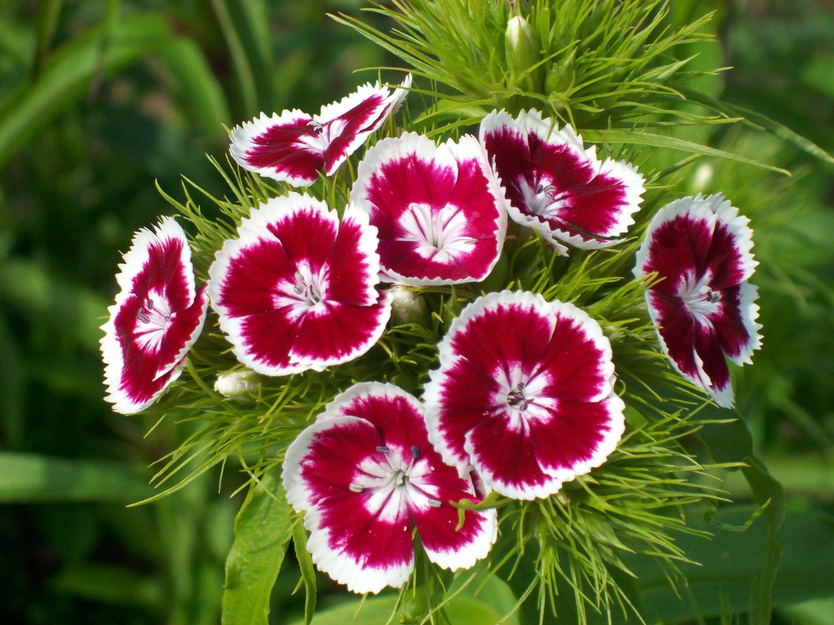 Цветы.турецкая гвоздика