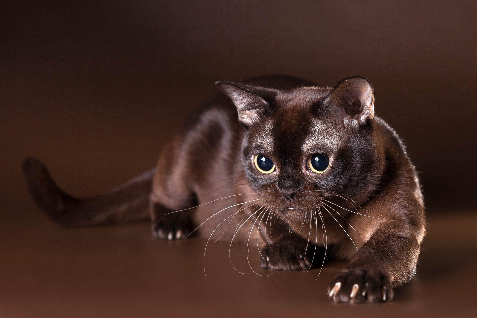 HD Burmese cat or Burma wallpaper | Burmese cat or Burma wallpaper ...