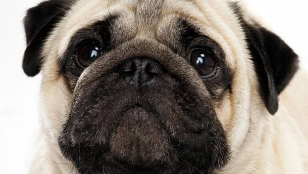 The Pug Is One Of The Oldest Dog Breeds In The World Ancient