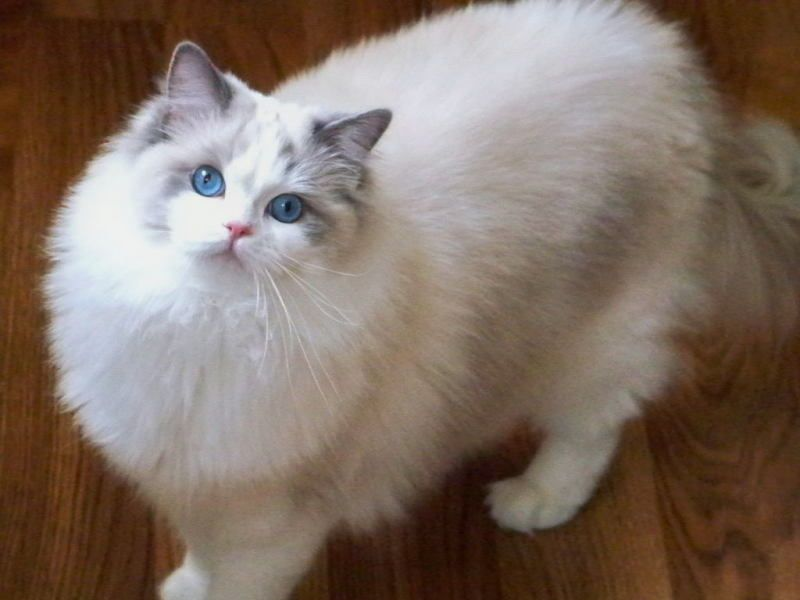 Gallery For Blue Bicolor Mitted Ragdoll Ragdoll Cat Gorgeous Cats Beautiful Cats Pictures