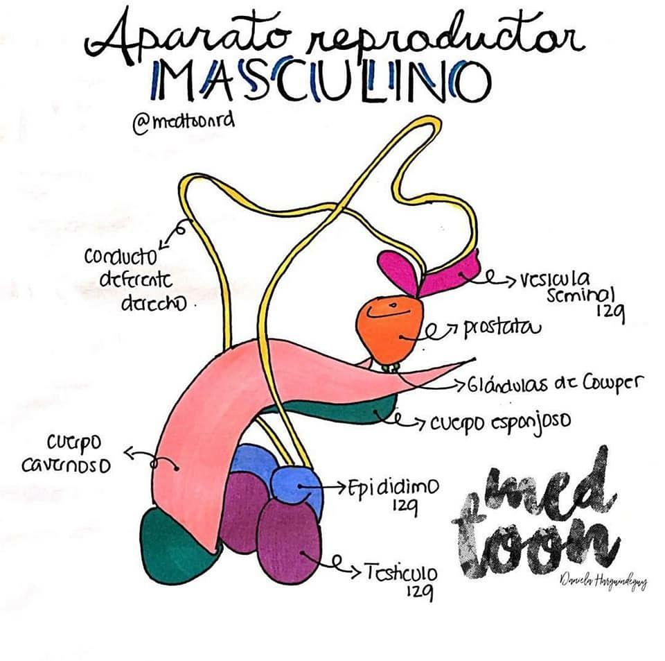 anatomía topográfica de próstata