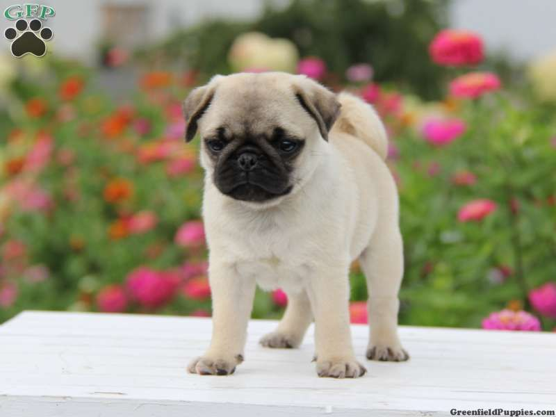 Oscar Miniature Pug Puppy For Sale From Morgantown Pa Pugs For