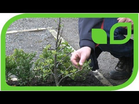 Gardenvideo The Youtube Channel Around Gardening Lubera Co Uk The Plant Shop Of Lubera We Deliver In Uk Markus Kobelt Breeder A Apple Tree Plants Apple