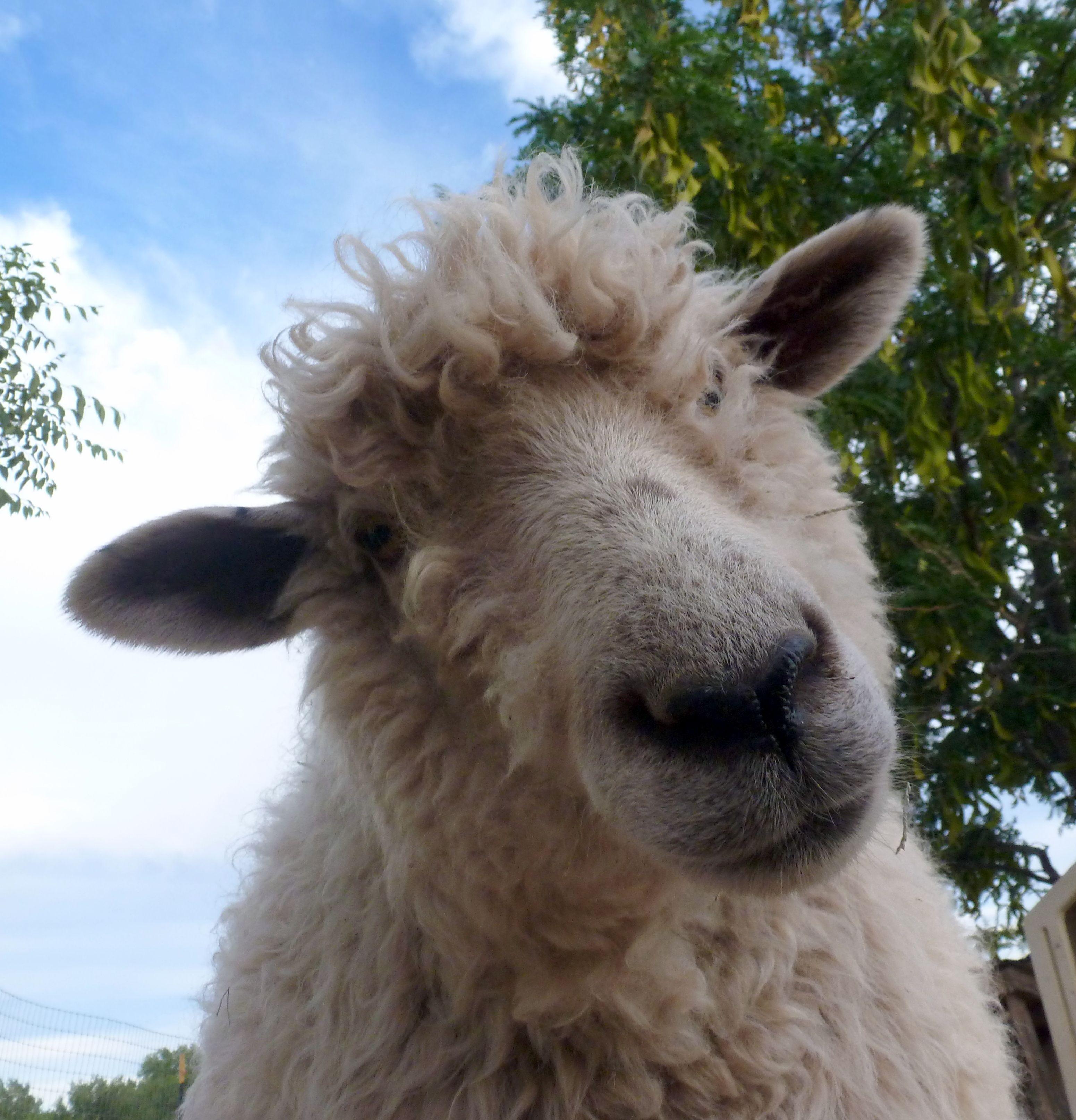 Sierra, our Cotswold sheep. | I ♥♥♥ Sheep | Pinterest | Anatomía ...