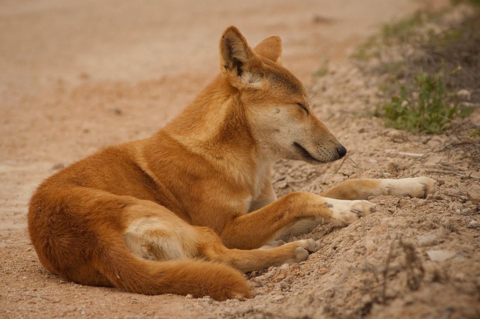 dingo Dingo The Life of Animals Dogs, Australian