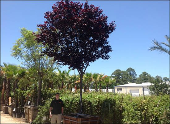 Purple Leaf Plum For In Houston Colorful Trees Tex Tree Nurseries
