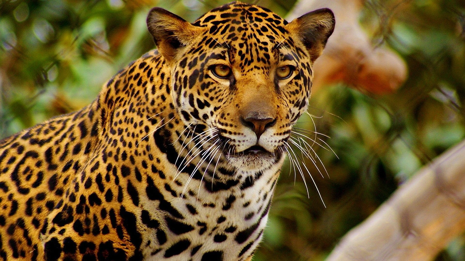 Beautiful Animal Pictures Wallpaper Animals Beautiful Cheetah