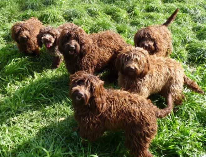 SPOODLES! These are cockerspaniels and poodles from