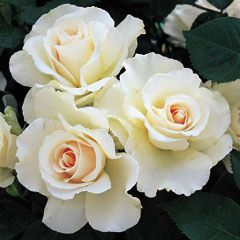 Margaret Merill is a hybrid tea rose. The rose grows to approximately 3ft with shiny dark green leaves. It flowers in Summer and early Autumn with large clusters of double white flowers flushed with pink and has yellow stamens. It's beautiful rich fragrance is it's best feature.