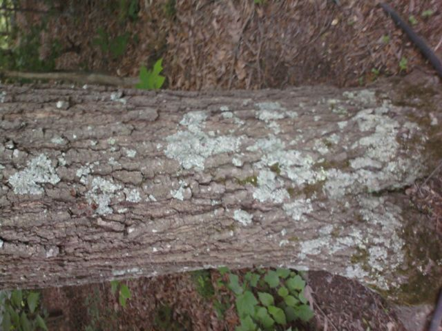 Best Lichen Tree Fungus And How To Treat Asphalt Roof Shingles Tree Wood Shakes 400 x 300