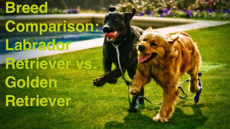 Breed Comparison Labrador Retriever Vs Golden Retriever