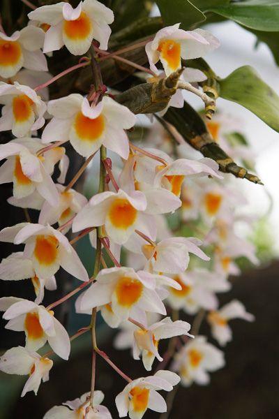 Indian Dendrobium Orchid Dendrobium Orchids Orchids Flowers