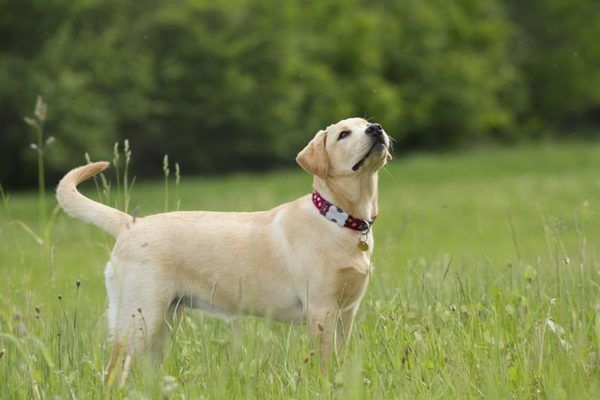 American Labrador Retriever Vs English Labrador Retriever Popular Dog Breeds American Labrador Labrador Retriever