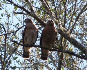 two hawks visit two hawk hammock two hawks visit two hawk hammock   oh the places we u0027ll go      rh   pinterest