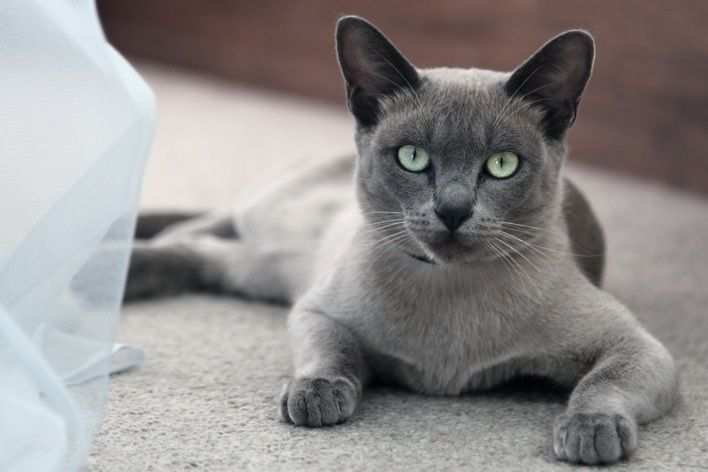 Blue Burmese Original Mk Burmese Cat Beautiful Cats Grey Cats