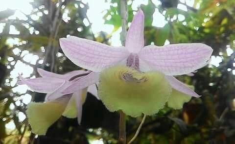 Dendrobrium Aphyllum
