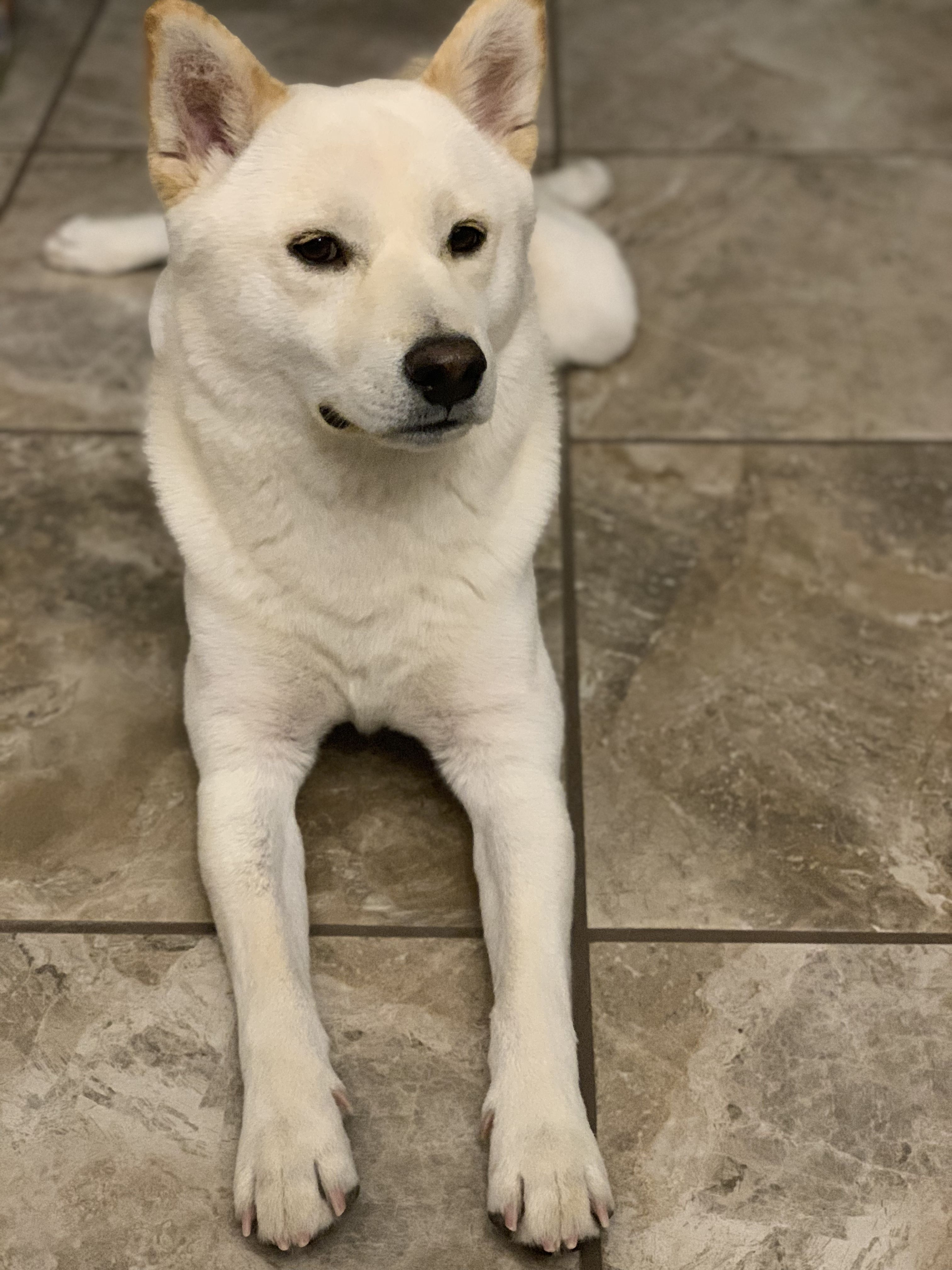 Shibainu Creamshiba With Images Shiba Inu Shiba Labrador Retriever