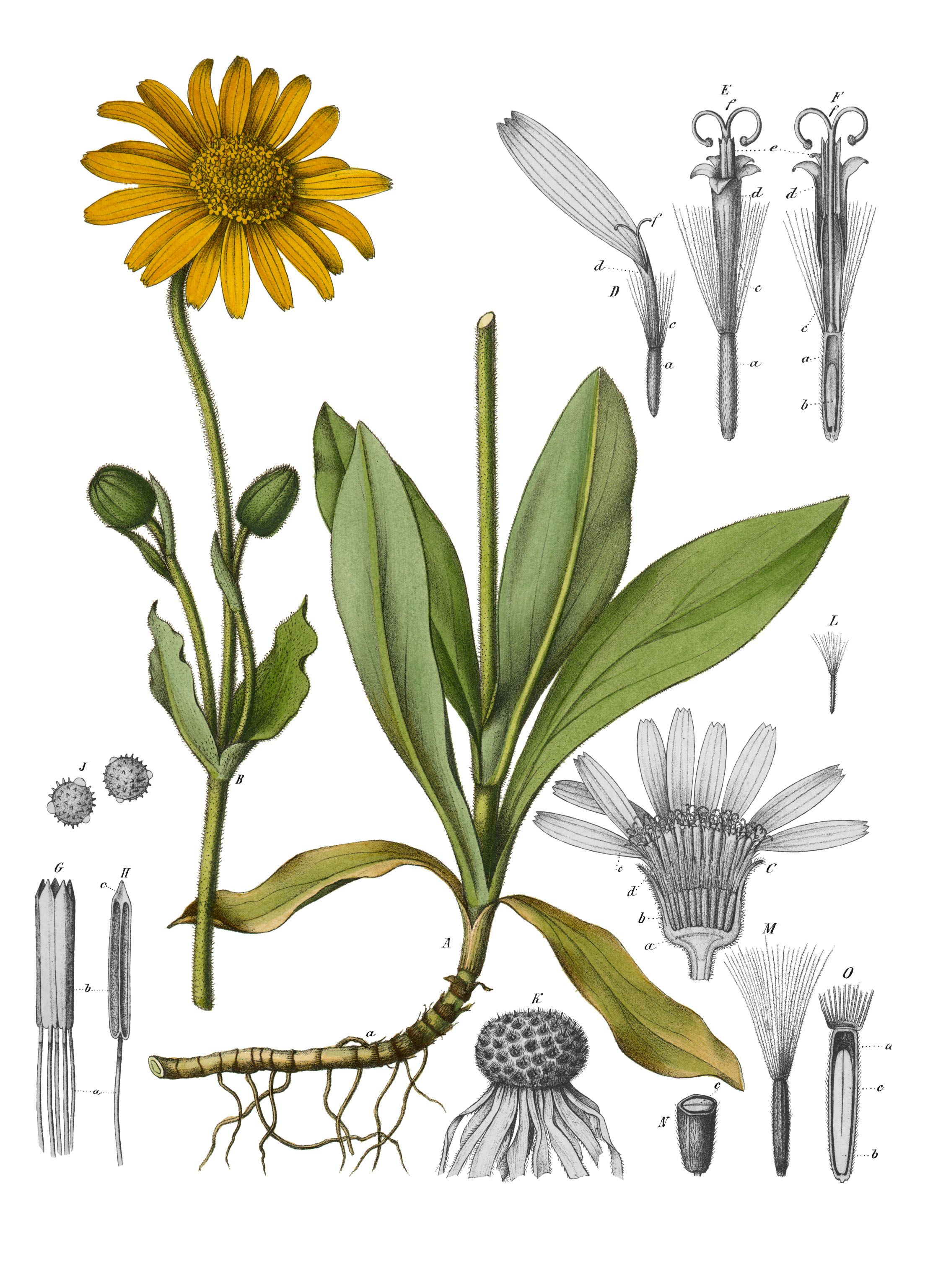 Arnica montana, otherwise known as Wolfsbane  It was used as