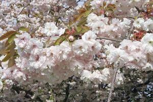 My Shirofugen Cherry Tree In Wa I Miss It Prunus Serrulata Plants Prunus