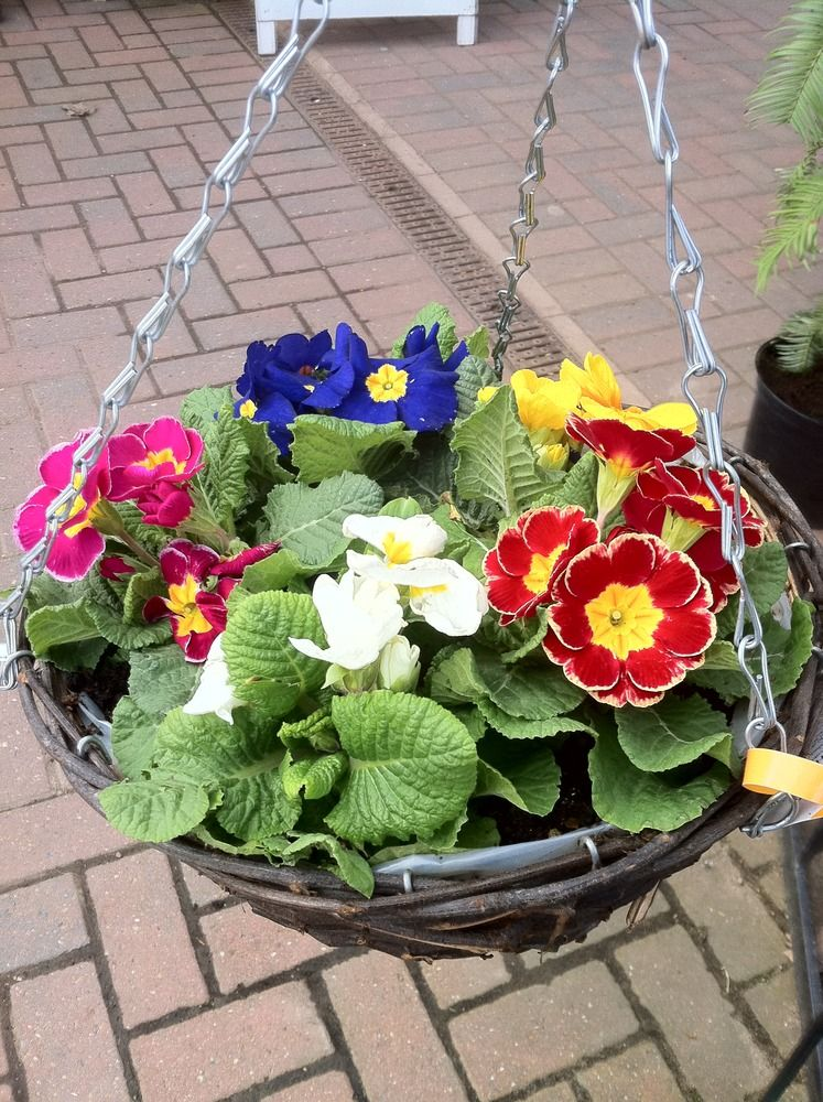 Easter basket primula primroses flowers plants n places garden ideas easter basket primula primroses negle Gallery