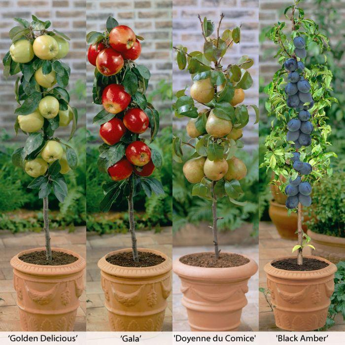 Http Www Thompson Morgan Com Fruit Trees Uk Dwarf Fruit Trees Miniature Fruit Trees