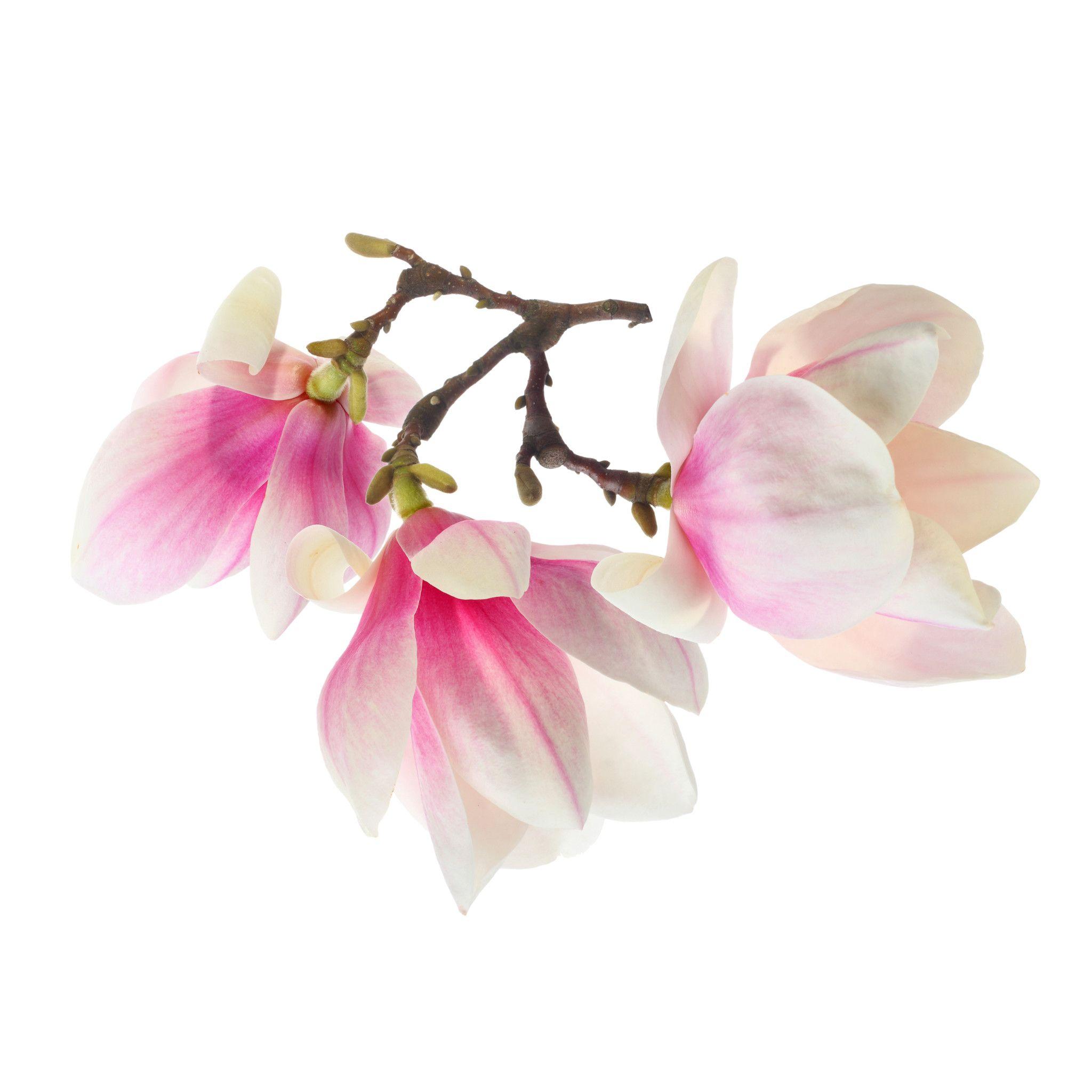 magnolia Google Search Magnolia, Parts of a plant