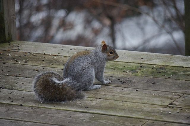 Are Squirrels In Your Attic Driving You Nuts Alco Animal Pest Control Provides Safe Squirrel Removal In Nj Our Expert Squirrel Hunting Squirrel Animals