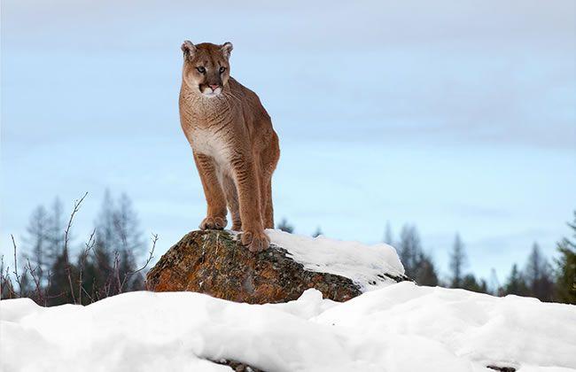 Mountain Lion  by Dennis Binda
