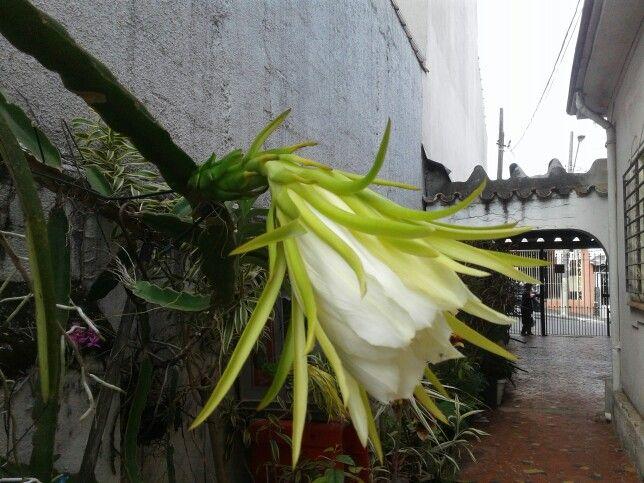 Flor ancestral da pitaia !