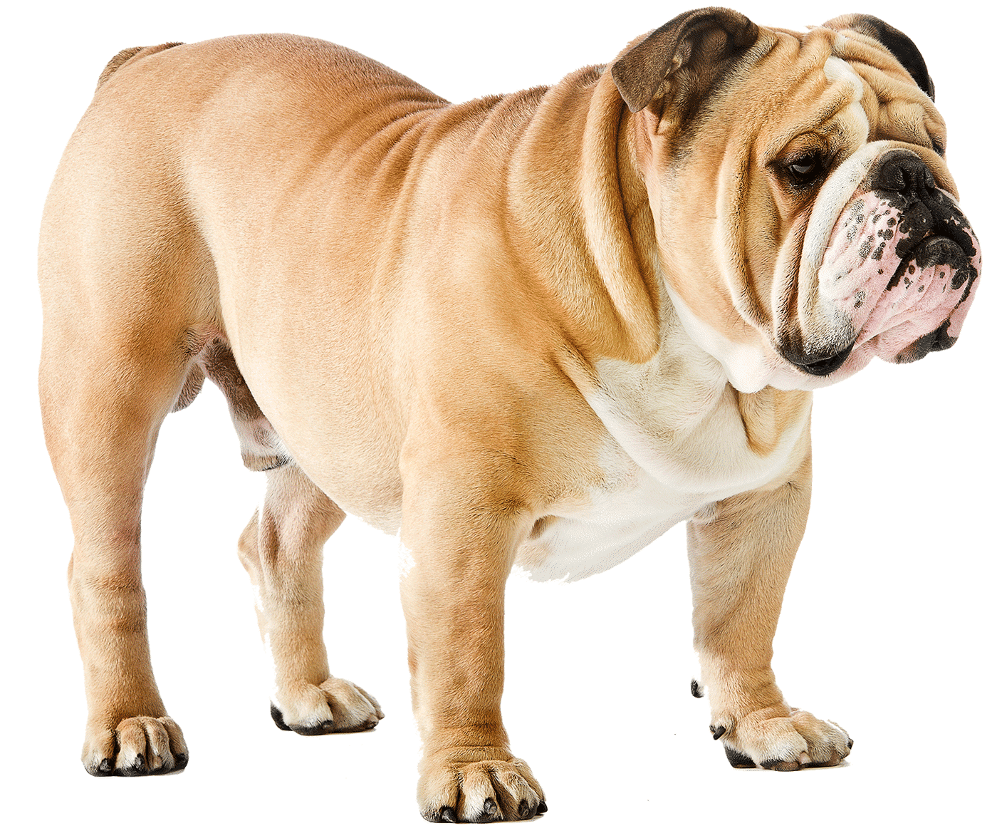 English Bulldog Health Checker English Bulldog Insurance English Bulldog Bulldog Dogs