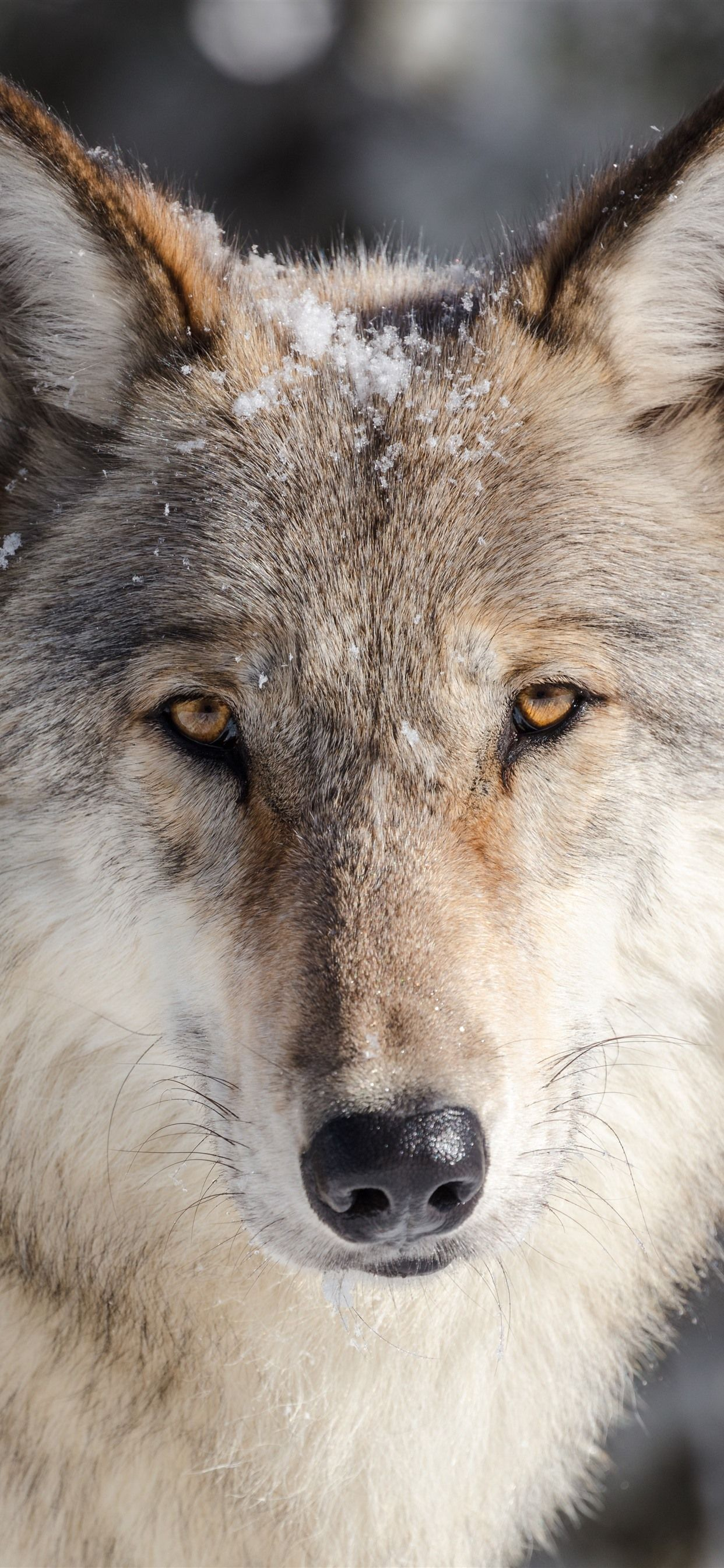 Wolf Wallpaper for iPhone (72+ images) (With images