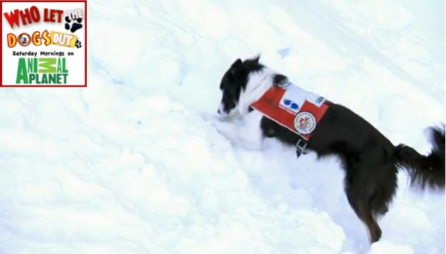 Wiley the amazing search and rescue dog for avalanches!