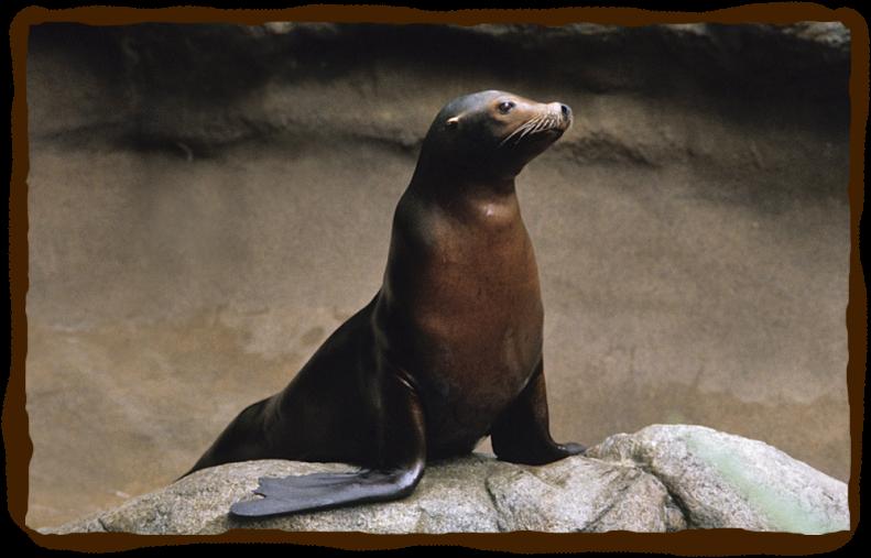 california seals animal Google Search Animals, Animal