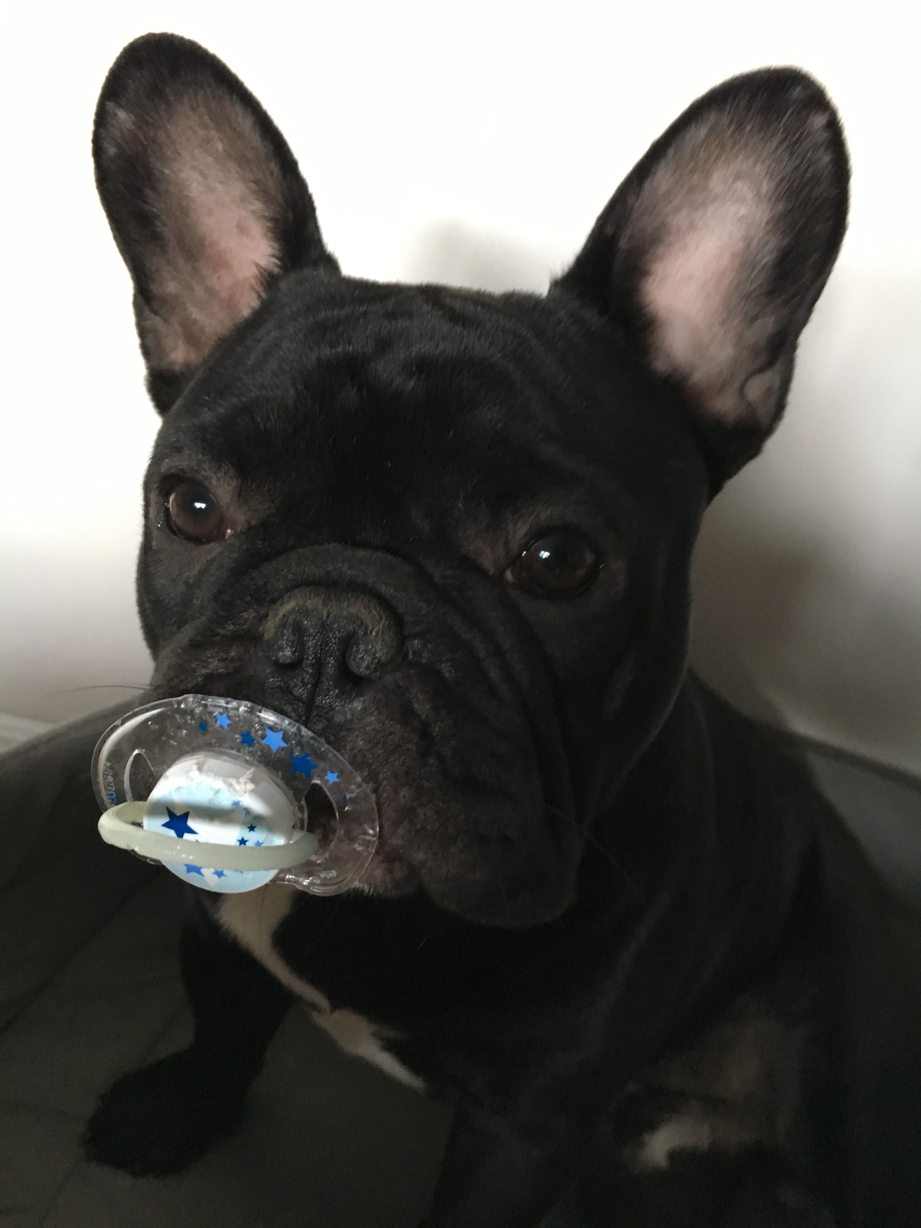 French Bulldog Puppy With A Pacifier Words Are Useless When