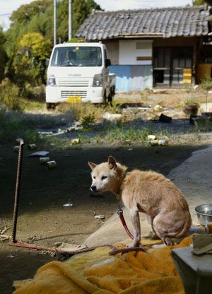 An old gaunt dog was spotted at a barn in a town in Fukushima Prefecture last August, apparently feeding off the carcasses of cattle abandoned after the nuclear disaster started in March 2011 at the Fukushima No. 1 power plant.