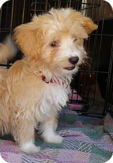 I Found A New Home Cockapoo Mix Puppy For Adoption In Bridgeton Missouri Bradie Adoption Pending Puppy Adoption Cockapoo Pets