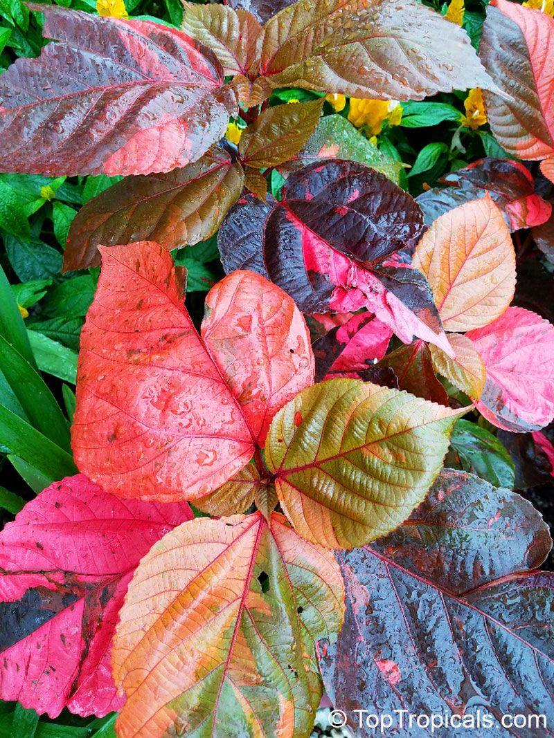 Acalypha wilkesiana fire dragon acalypha is very colorful
