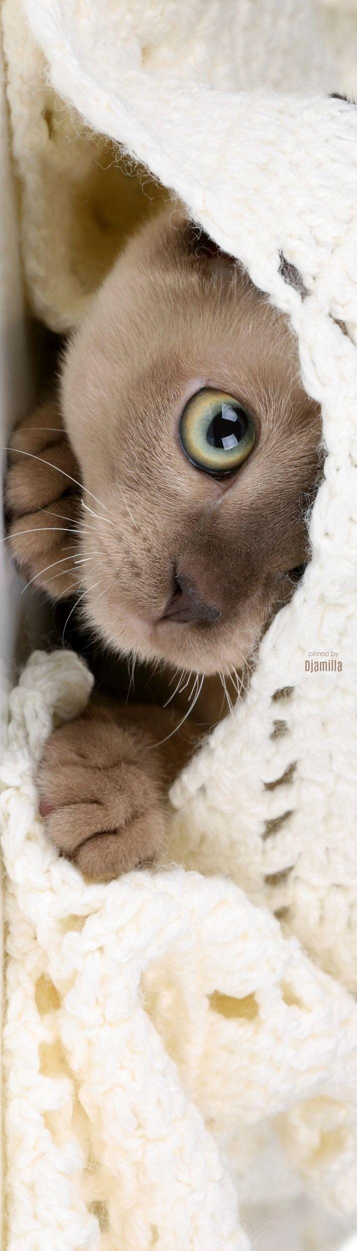Pinterest Xocvy Burmese Kittens Cute Animals Kittens Cutest