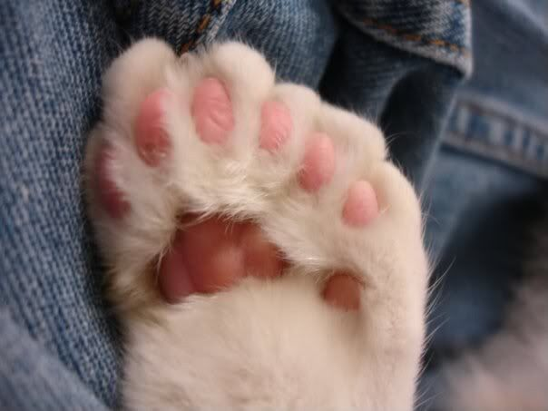 Polydactyl cat feet- specifically found in the Maine Coon breed. Meaning the cat is born with extra toes on its feet. So cute !