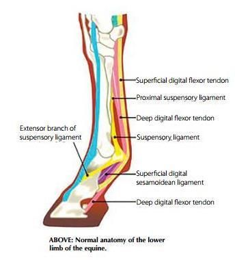 Flexor Tendon Injuries Equine Pinterest Horses Horse Care And
