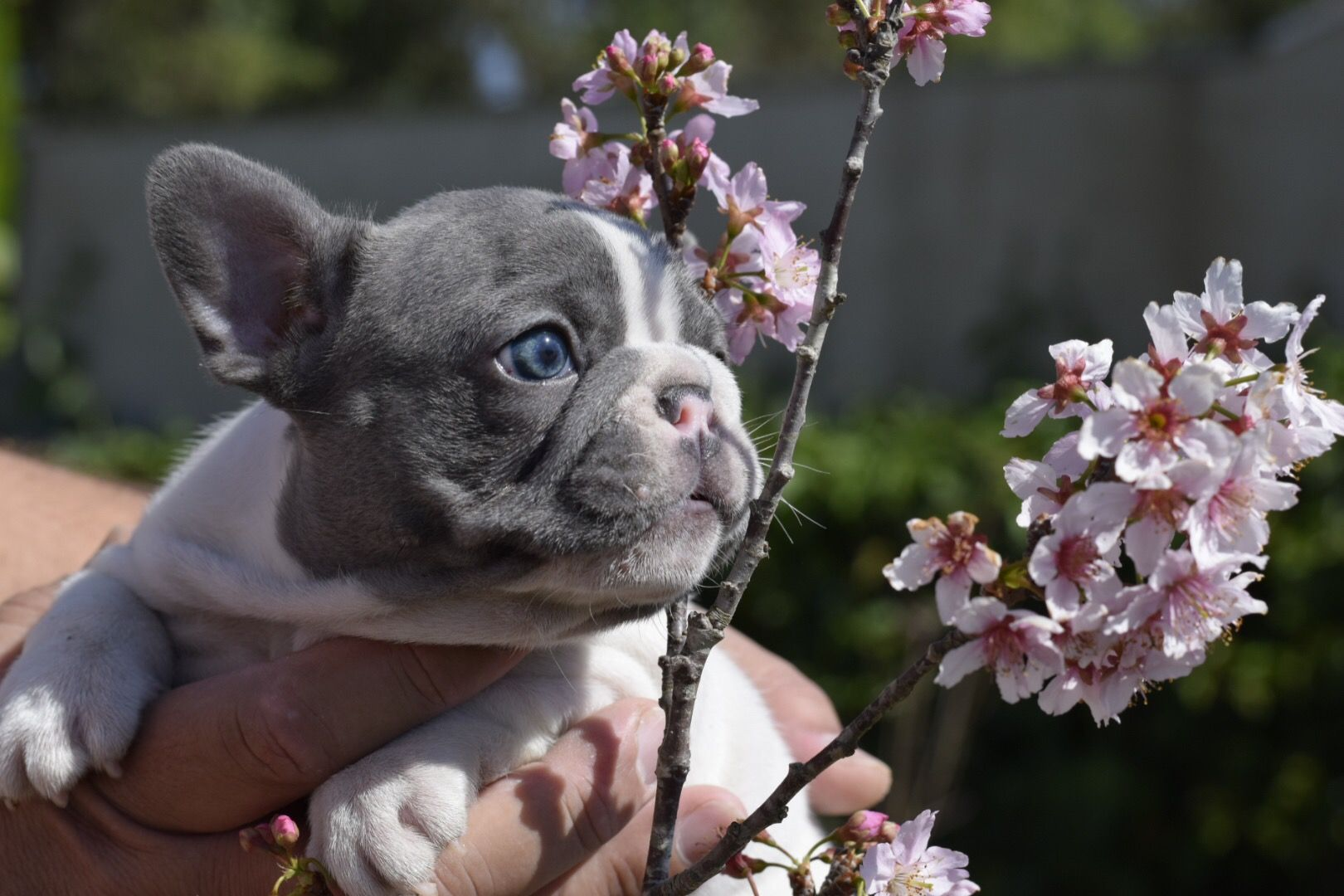 Bullfrenchiefellas no instagram french bulldog puppies