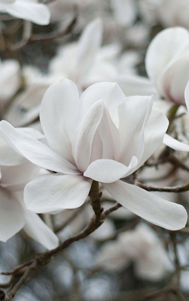 Beautiful Beautiful Flowers White Flowers Magnolia Flower