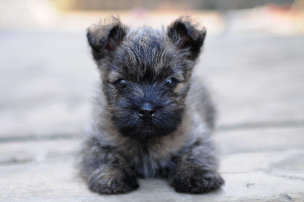 Puppies Cairn Terrier Puppies Puppies For Sale Cairn Terrier