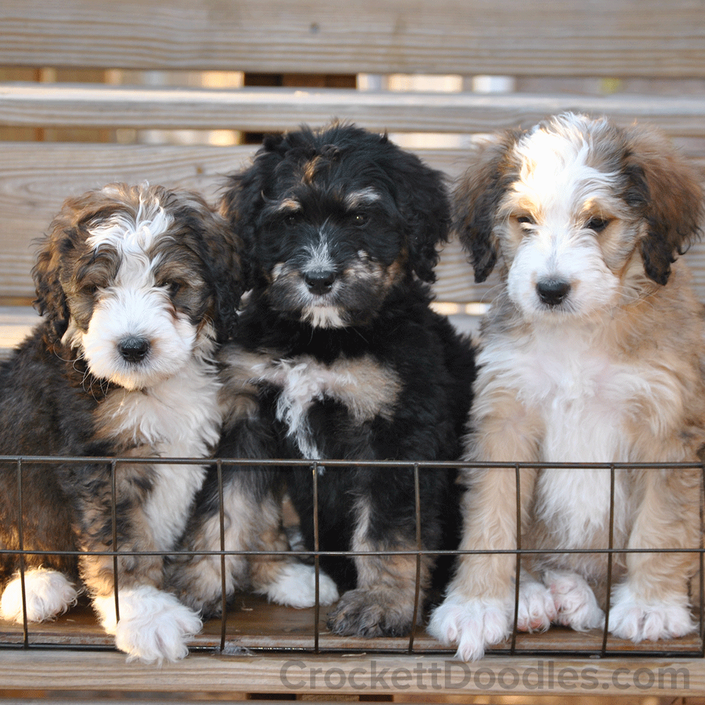 Bernedoodle Tri Colored Puppies Bernedoodle Puppy Puppies