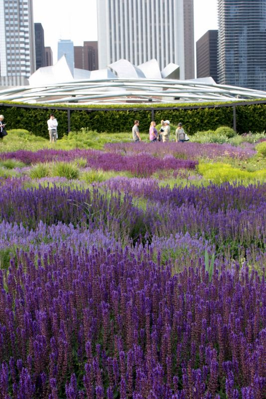The Lurie Garden Salvia River By Piet Oudolf In Summer