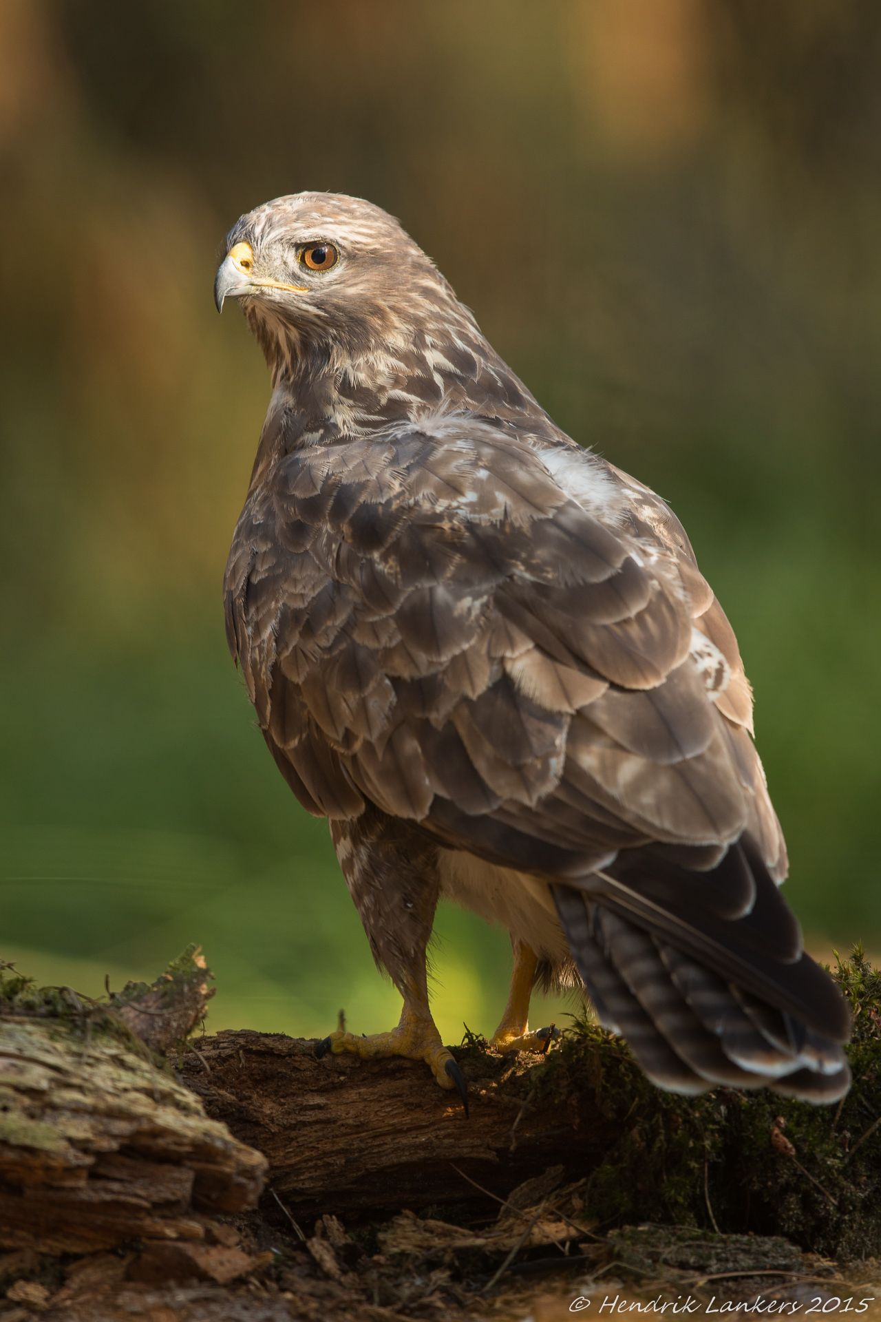 Buizerd Buzzard) (With images) Common buzzard