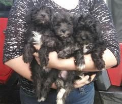 Christmas Schnoodles Puppies And Dogs For Sale Pets Classified