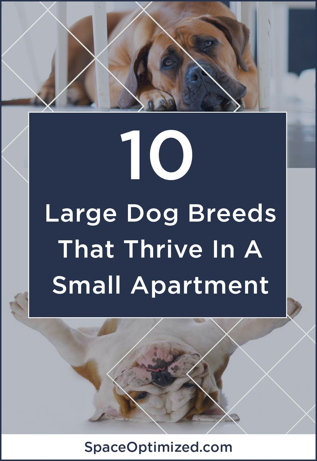 10 Large Dog Breeds That Thrive In A Tiny Apartment Large Dog Breeds Dog Breeds Dogs