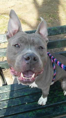TO BE DESTROYED 3-12-2016 Manhattan Center-P  My name is BILLY KID. My Animal ID # is A1066792. I am a male blue and white am pit bull ter mix. The shelter thinks I am about 2 YEARS  I came in the shelter as a STRAY on 03/05/2016 from NY 10456, owner surrender reason stated was STRAY.