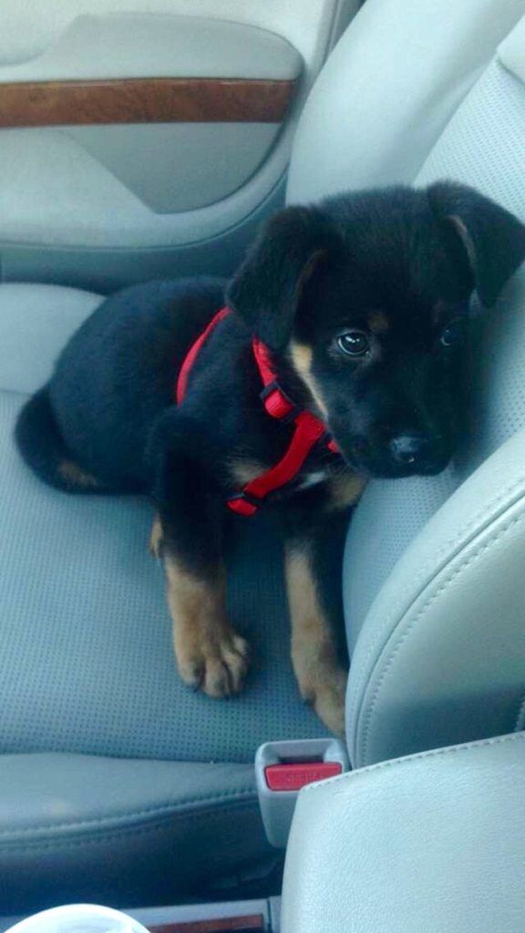 Reddit Meet Buster My Rottweiler Lab Shepard Mix Rescued Him